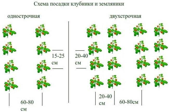 Схемы посадки земляники и клубники