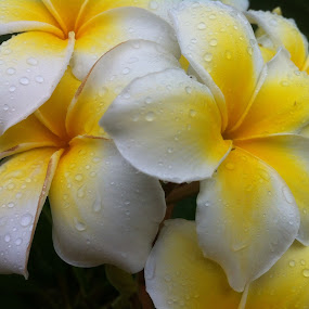 frangipani of a different color by Angeline JoVan - Novices Only Flowers & Plants ( carriacou grenada caribbean yellow white flower,  )