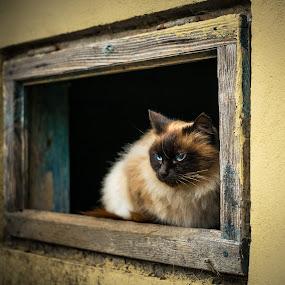 Eyes by Roberto Sorin - Animals - Cats Portraits ( macro, cat, blue, portrait, close, eyes,  )