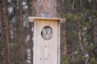 Photo: Kuva-2a, helmipöllö naaras +1kv (huhtikuu) kuvaaja Timo Talala
