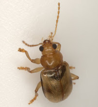 Photo: Metachroma orientale Blake Det. E. G. Riley, 2009 (Chrysomelidae: Eumolpinae: Typophorini)
