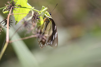 Photo: Flying handkerchief female - Papilio dardanus