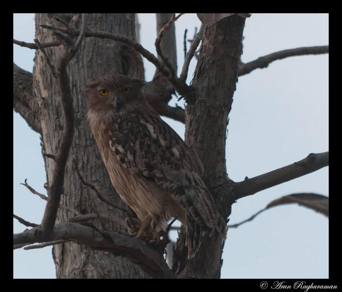Photo: Brown fish owl