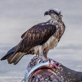 by Brent McKee - Animals Birds ( bird, qld )