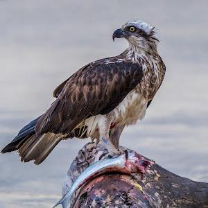 Eastern Osprey.jpg