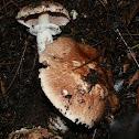 Agaric Mushroom