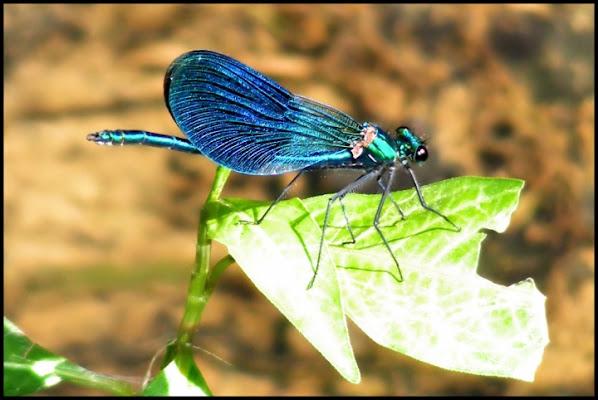 Calopteryx Splendens di IchigoHime