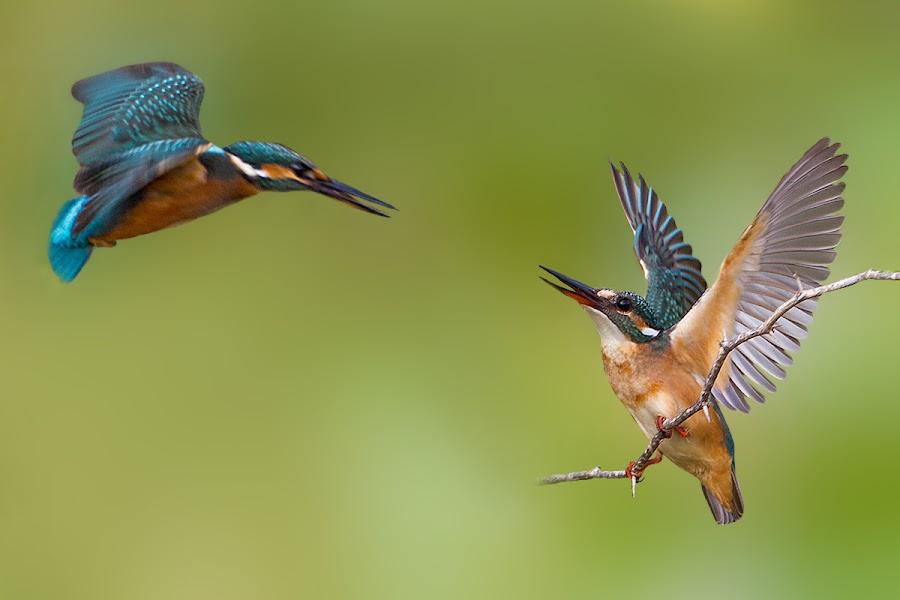 common kingfisher by Surendra Chouhan - Animals Birds