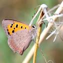 Common Copper; Manto bicolor