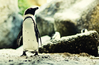 """Photo: At Boulders Beach in Cape Town there is a colony of about 3000 African Penguins that live there and amazingly enough you can buy a ticket to the beach and go right down on the beach and hang out with the penguins!  Towards the end of our afternoon on the beach Steph and I went exploring a little bit to get some photos of the penguins just before they turned in for the evening. This little guy was positioned right under 2 large boulders which led to the other side of the beach and just had a posture like """"you may not pass."""" I creeped in a little bit and laid down to get a couple shots of him hoping that he would move on in a little bit but he just stood there guarding the other side of the beach so crawled out from the boulders and went on our way.  Processing: Nikon D7000   Nikon 50mm   Lightroom"""