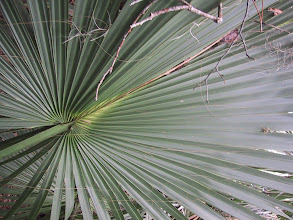 Photo: Sabal palm and saw palmetto all were important sources of fiber in the southeastern US.  In most sites nothing survives but in some Florida wet sites we see glimpses of what we are missing from the typical material inventory of prehistoric peoples.