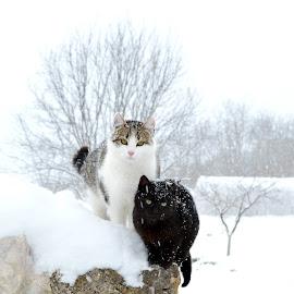 by OL JA - Animals - Cats Portraits