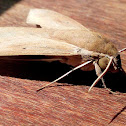 The Pale Brown Hawk Moth
