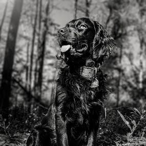 Cooper by Michael Shaffer - Animals - Dogs Portraits ( detail, boykin, b&w, lighting, d750, black and white, spaniel, bw, nikon, dog, gun, gundog,  )