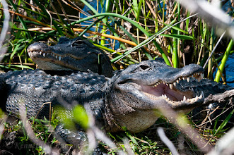 Photo: Alligators