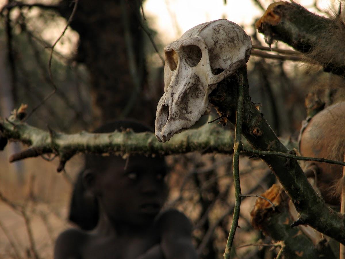 Crâne de babouin