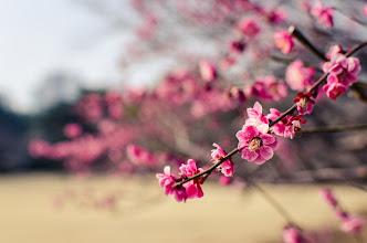 Photo: Plum trees blossoming in Spring at Shinjuku Park