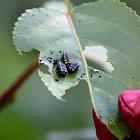 Cottonwood Leaf Beetle (larva instars)