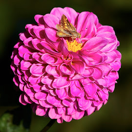 Dahlia 8464~ by Raphael RaCcoon - Flowers Single Flower