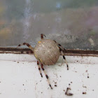 Marbled Orb Spider