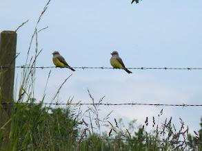 Photo: A pair of Western Kingbirds
