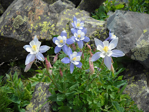 Photo: Columbine at Mirror Lake