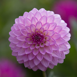 Perfect by Janet Marsh - Flowers Single Flower ( purple, dahlias )