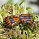 Striped Shield Bug