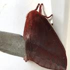Lo moth