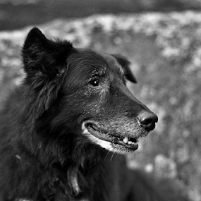 Lucky pose by Skye Stevens - Animals - Dogs Portraits ( border collie, black and white, dog portrait, black lab,  )