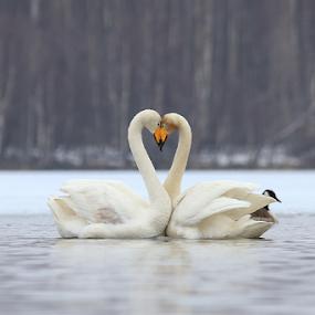 Love by Elisabeth Johansson - Animals Birds ( water, love, swans, sweden, boden, norrbotten, april, fog, spring )