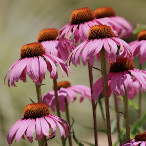 Summertime wildflowers by Robin Rawlings Wechsler - Flowers Flowers in the Wild ( nature, petals, bloom, pink, blossom, flower )