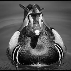 Mandarin Duck-108.jpg