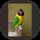 Download Kicau Lovebird Paud Juara For PC Windows and Mac