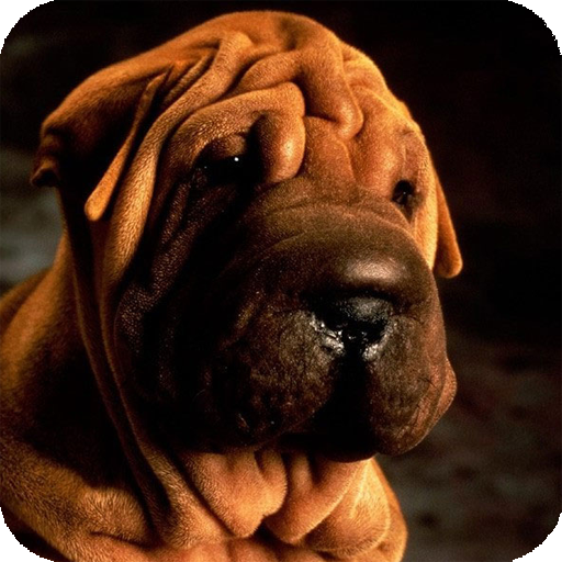 Shar Pei HD Live Wallpaper 個人化 App LOGO-硬是要APP