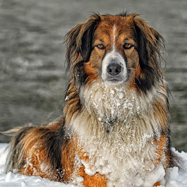 Winter Portrait - English Shepherd by Twin Wranglers Baker - Animals - Dogs Portraits (  )