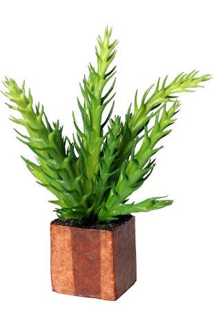 Kub Euphorbia Cactus