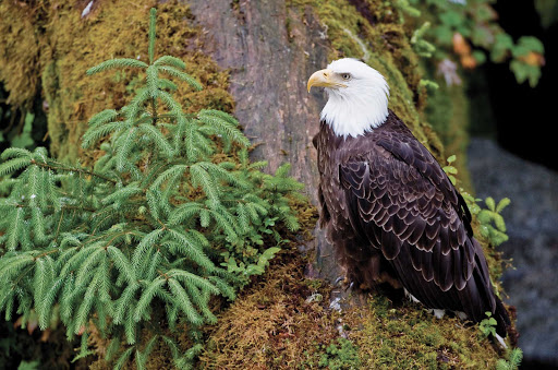 Bald-Eagle-Forest-BG.jpg - See bald eagles in their natural habitat on a cruise through Alaska's Inside Passage.