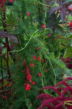 Photo: cypress vine - ferny foliage and delicate true red stars