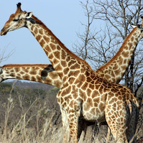 Three in one by Sandra Mcgowan - Animals Other Mammals ( game reserve, # hours from johannesburg., pilansburg south africa )