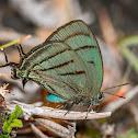 Deep Green Hairstreak (male)