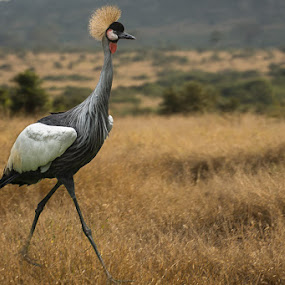 Crane by David Botha - Animals Birds ( crane, bird, wildlife )