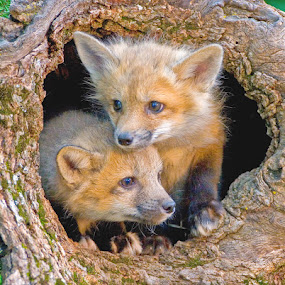 Looking for Trouble by Jack Nevitt - Animals Other Mammals ( fox, den, twins, log, kit, brothers )