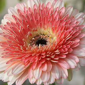 Amazing gerbera by Giovanna Pagliai - Flowers Single Flower ( november, heart, joy, beautiful, tendernerss, colored, natural,  )
