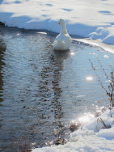 Photo: White duck in a winter lake with sunlight at Carriage Hill Metropark in Dayton, Ohio.