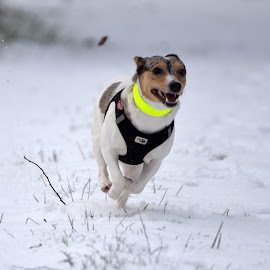Running In The Snow by Marco Bertamé - Animals - Dogs Running