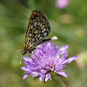 Large chequered skipper