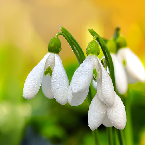 Spring Flowers Live Wallpaper - Apps on