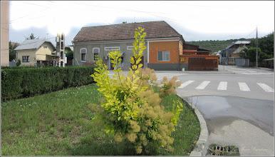Photo: Turda - Str. Basarabiei, Scumpia (Cotinus coggyria) - 2018.06.16