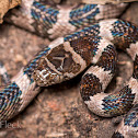 Mexican Lyre Snake